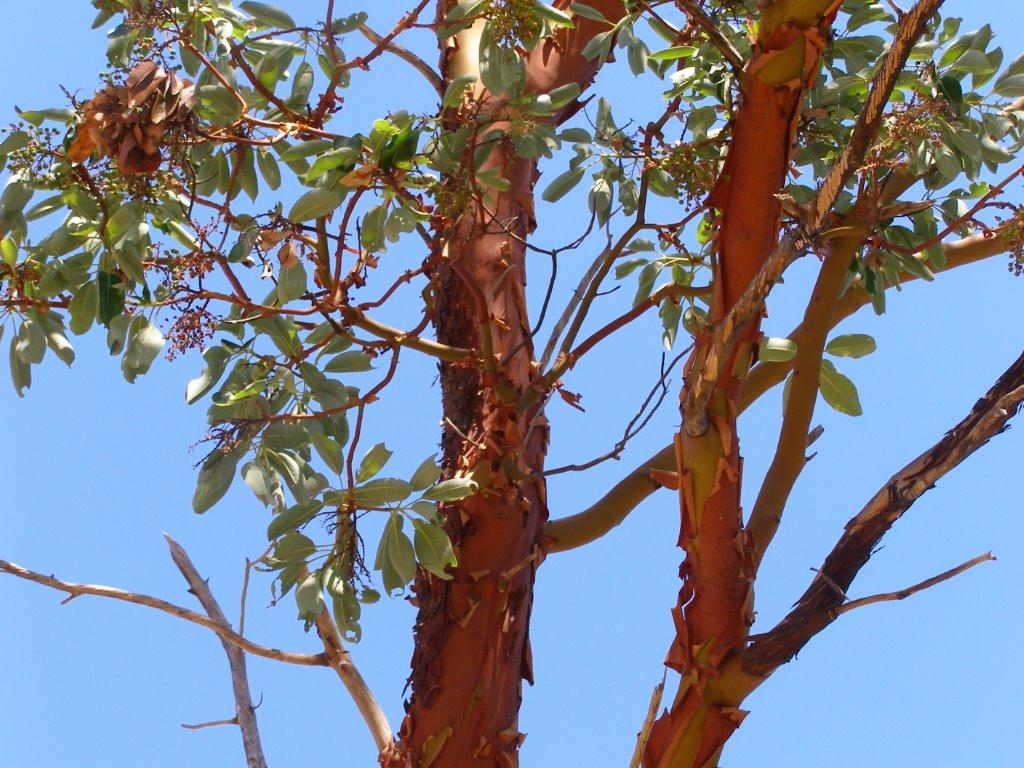 Arbutus-trees-news